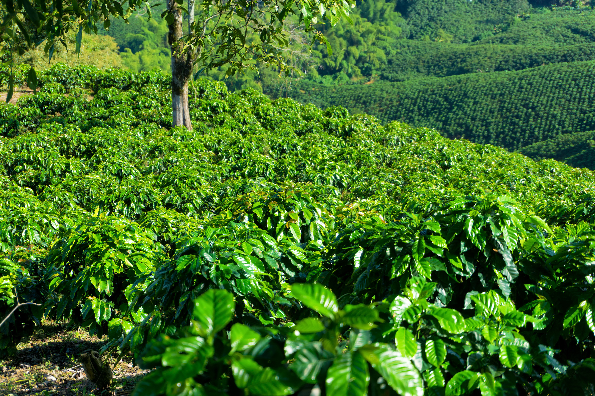 Chemical free coffee farm